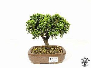 Bonsai Shimpaku 4 anos ( 16 cm altura)