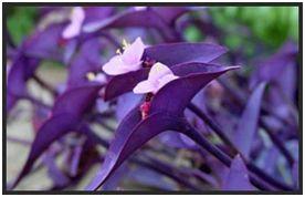 Trapoeraba roxa (Tradescantia pallida purpurea)