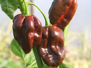 Pimenta Chocolate Habanero: 10 Sementes