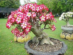 Adenium (Rosa do Deserto): 5 Sementes
