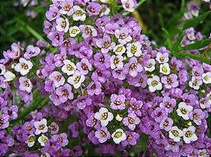 Alyssum Violeta: 20 Sementes
