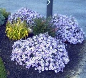 Aster Serenata Azul: 15 Sementes