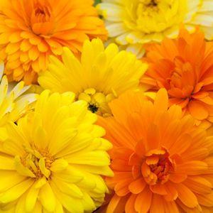 Calêndula Sortida Dobrada (Calendula officinalis): 15 Sementes
