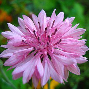 Centáurea Rosa: 20 Sementes