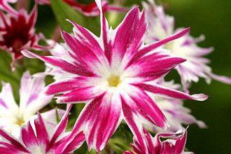 Chitinha Estrela Sortida: 20 Sementes