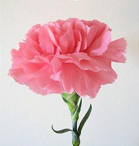 Cravo Rosa: 15 Sementes