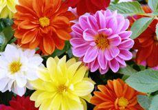 Dália Dobrada Sortida: 15 Sementes