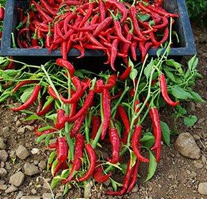 Pimenta Long Cayenna ORGÂNICO: 40 Sementes