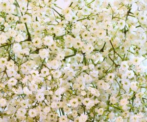 Mosquitinho Branco: 20 Sementes
