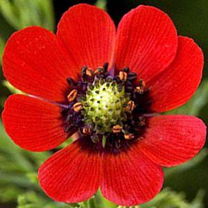Olho de Faisão Vermelho: 20 Sementes