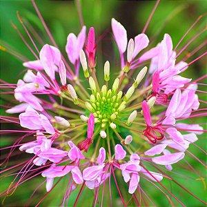 Spider Flower (Cleome): 15 Sementes