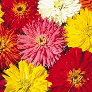 Zinnia Cactos Sortido: 15 Sementes