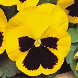 Amor Perfeito Amarelo Gigante Suíço: 15 Sementes
