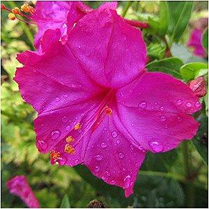 Maravilha do Peru Rosa: 10 Sementes