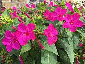 Maravilha do Peru Rosa: 15 Sementes