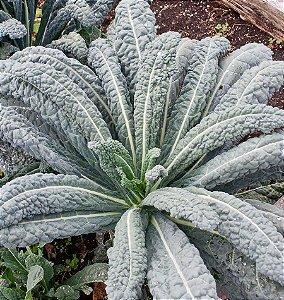 Couve Toscana (Kale): 50 Sementes