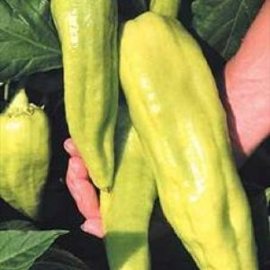 Pimentão Amarelo Comprido: 50 Sementes