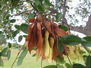 Bilro - Pau amendoim - Pteregyne nitens - 5 Sementes