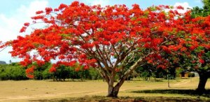 Flamboyant Vermelho  - Delonix Regia - 5 Sementes