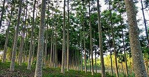 Cedro Australiano - Toona ciliata - 20 Sementes