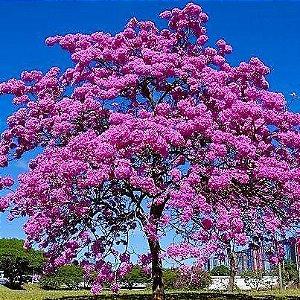 Ipê Rosa - Handroanthus avellanedae - 5 Sementes