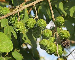 Mutambo - Guazuma Ulmifolia - 10 Sementes