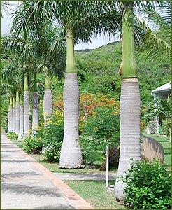 Palmeira Imperial - Roystonea Régia - 3 Sementes