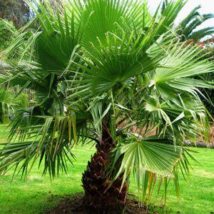 Palmeira Leque - 5 Sementes