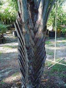 Palmeira Licuri - Syagrus coronata: 2 Sementes