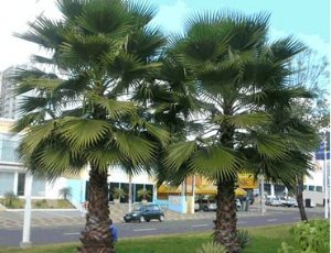 Palmeira Sabal de Cuba - Sabal Jamaicensis: 3 Sementes