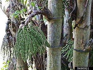 Palmeira Caryota Mitis - Caryota mitis Lour - 2 Sementes