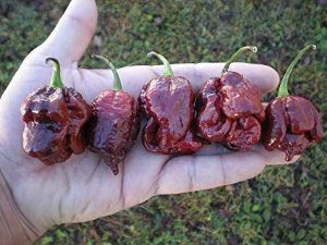 Trinidad Scorpion Chocolate: 10 Sementes