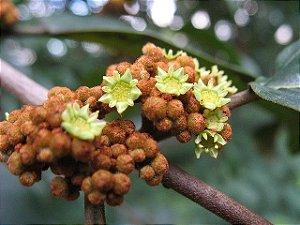 Saguaraji - Colubrina glandulosa - 10 Sementes