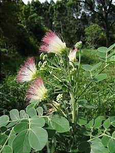 Sete Cascas - Samanea Inopinata - 5 Sementes