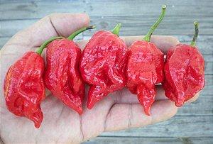 Pimenta 7 Pot Barrackpore - 10 Sementes - Raridade!