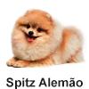 Spitz Alemão