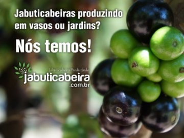 Jabuticabeira Produzindo