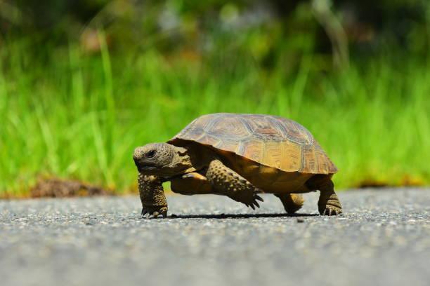 tartaruga andando