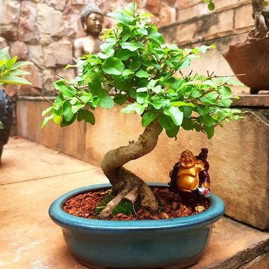 Bonsai Oriental Ligustro