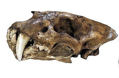 Crânio de Tigre Dentes de Sabre (Homotherium sp)
