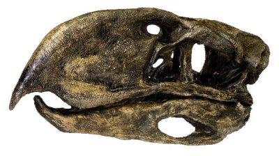 Crânio da Ave Terror (Phorusrhacidae)