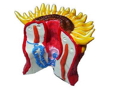 Anatomia básica de Cnidário