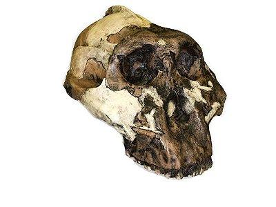 Crânio de Paranthropus boisei
