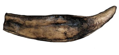 Dente de Pliossauro (com raiz)