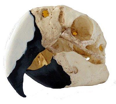 Crânio de Arara (Ara macao)