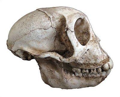 Crânio de primata do gênero Rhesus