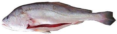 Pescada Branca - White Drum - Plagioscion Squamosissimus - Corvina White