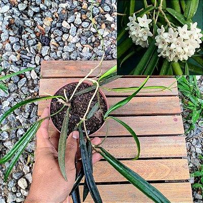 Hoya sherpedii (vaso 11)