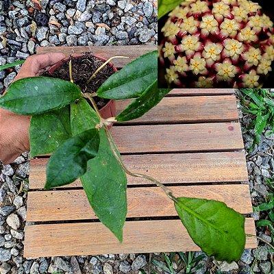 Hoya finlaysonii (vaso 11)