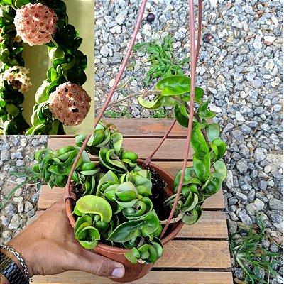 Hoya compacta green (várias mudas vaso15)